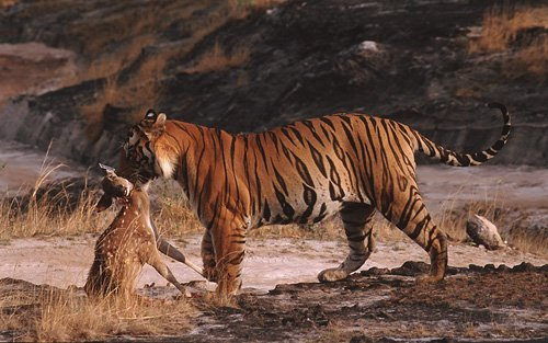 tigre et gazelle