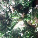 Nouvelles chips de kale de Crudivegan !