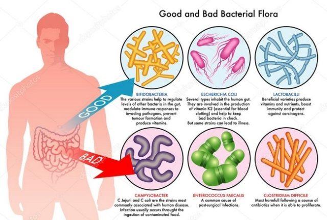 les bactéries intestinales